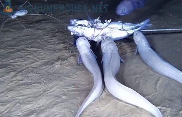 Velike ribe iz Australije